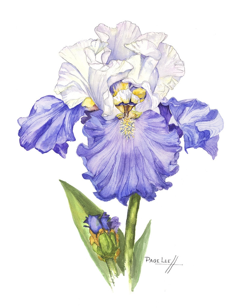 LeeP-Blue_Iris_11x14_395_1024x1024