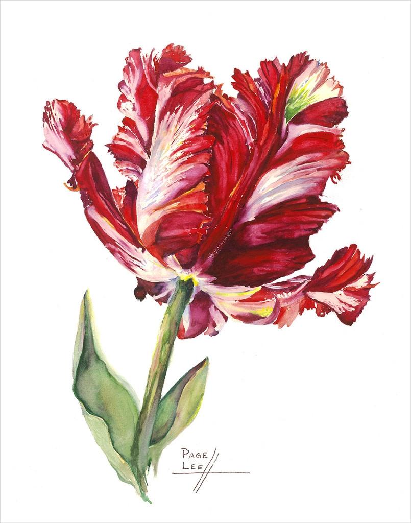 LeeP-Tulip_Estella_Red_11x14_384_1024x1024