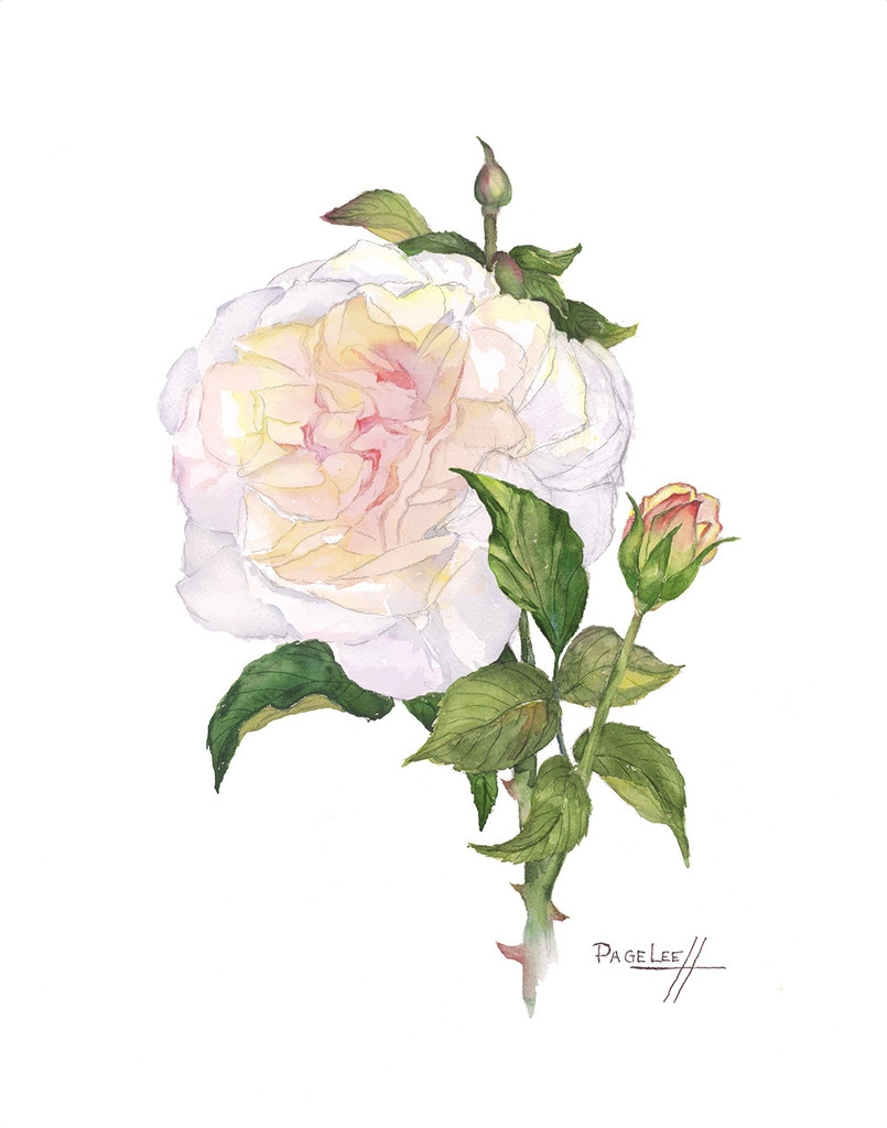 LeeP-WHite_Rose_11x14_430_1024x1024